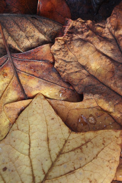 A close up of brown autumn leaves